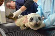 harbor seal pup, marine mammal center