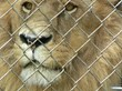Captive lion behind bars. (Credit: Born Free USA)