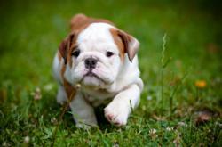 Cute bulldog puppy running
