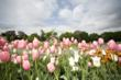 Albany Tulip Festival, Maple Weekends, Fiber Tours and Live...
