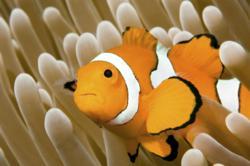 The Oceanarium's clownfish!