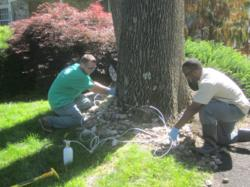 Giroud Tree and Lawn's PA Certified Technicians set up a trunk injection for Emerald Ash Borer