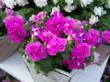 Surfinia® Summer Double Pink petunia