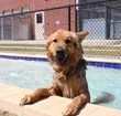 "'Boudreax,' a German shepherd mix, takes a test dive in the Becker Pet Resort's new ""Doggie Splash"" pool."