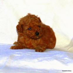 Red Apricot Poodle puppy, Red Toy Puppy for Sale, Poodle Puppy for sale