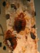 Bed Bug Bully Offered as Complimentary Sample Due to New Bed Bug...