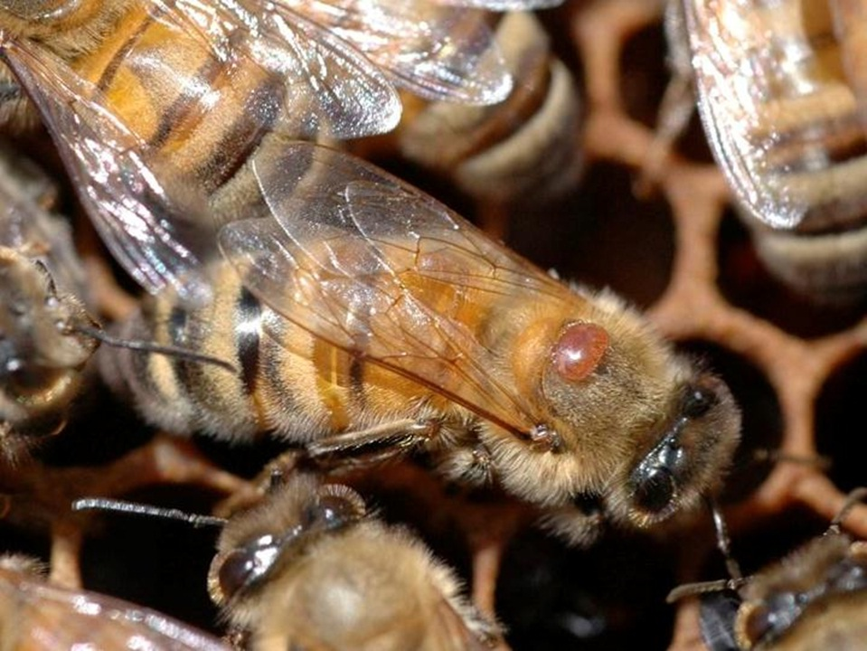 how to solve the varroa mites
