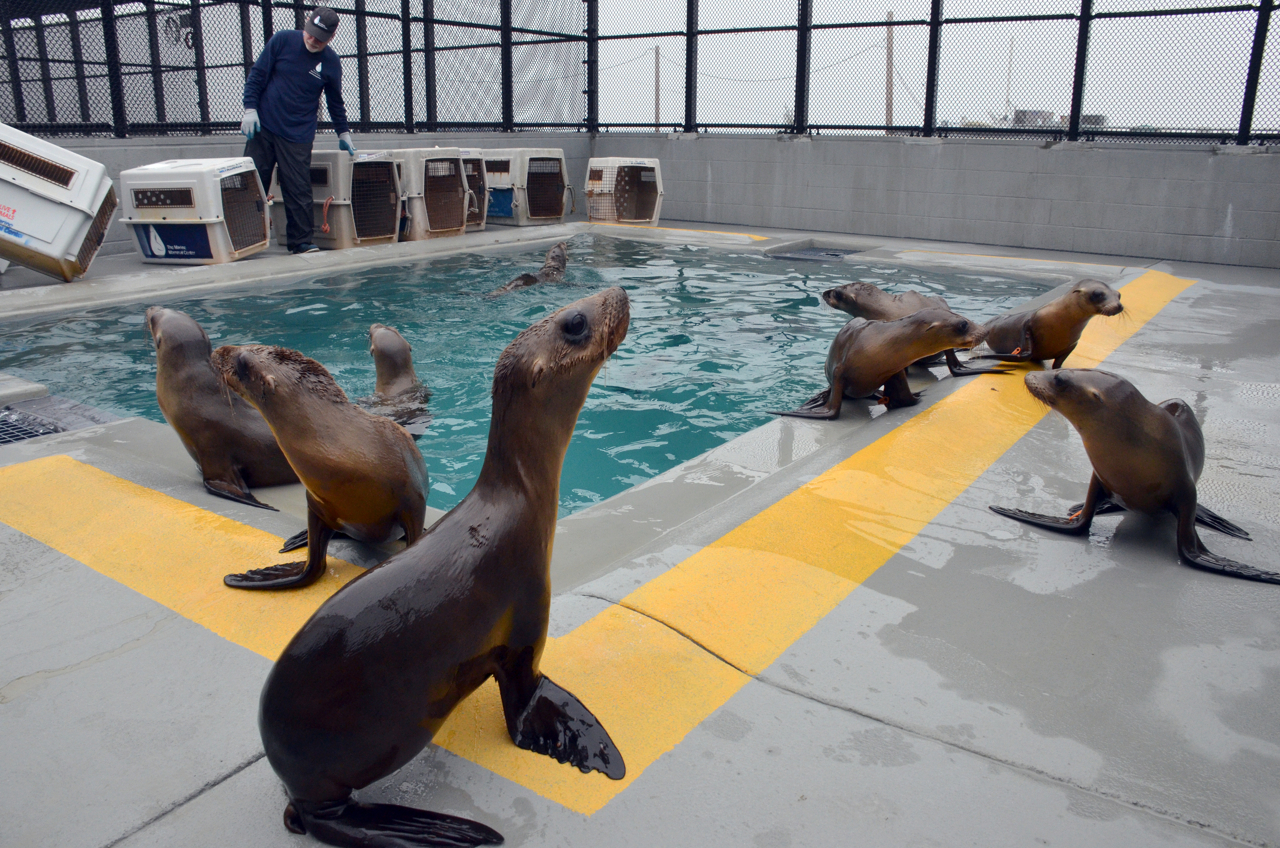 seals from Pacific Marine Mammal Center chill poolside
