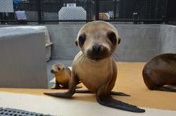 marine mammal center, sausalito, malnourished