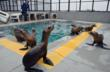 marine mammal center, sausalito, ca, sea lions, malnourished