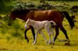 A mare and her foal enjoy springtime at the Wild Horse Sanctuary.