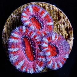 This Blood Red Acanthastrea Lordhowensis coral is one of over 300 WYSIWYG corals now available at MarineDepotLive.com