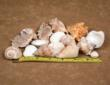 "Most seashells range in size from 1""-3"""