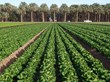 Field of Little Gems Lettuce, Bard, CA