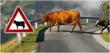 Car vs. Cow Accidents on the Increase - New Website Helps Accident...