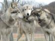 Cleveland ABC Station Does Short Story on My Pack of Wolves Sanctuary and Its Mission