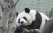 According to her keeper, Tian Tian is delicate and ladylike, with a cheeky, mischievous side.