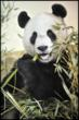 Yang Guang is described by his keeper as a 'gentle giant' who loves eating and snoozing.