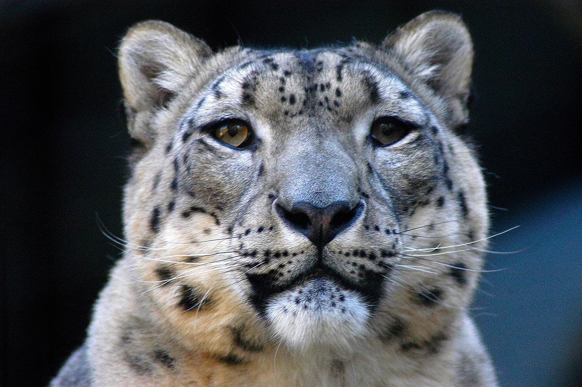 the endangered snow leopard Assessing changes in distribution of the endangered snow leopard panthera uncia and its wild prey over 2 decades in the indian himalaya through interview- based occupancy surveys - abhishek ghoshal, yash veer bhatnagar, bivash pandav, koustubh sharma, charudutt mishra, r raghunath,.