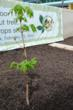 Anne Frank Sapling Project.