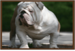 Big Bulldogs Added New Litters of English and French Bulldog Puppies for Sale