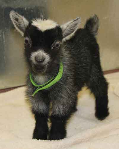 Amber Waves African Pygmy Goat Spring/Summmer Babies ...
