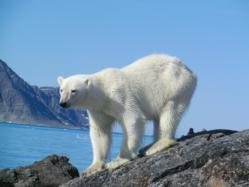 oyastaeter polar bear spitsbergen