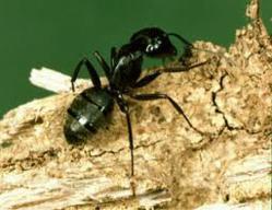 carpenter ant image