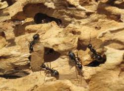 image of carpenter ant damage
