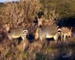 A small herd of Zebra photograph by Images in Africa