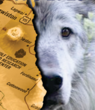 Regional Debate Over Wolves Continues as Historic Sanctuary Opens...