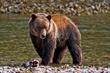 Grizzly bear, credit Darren Bernaerdt