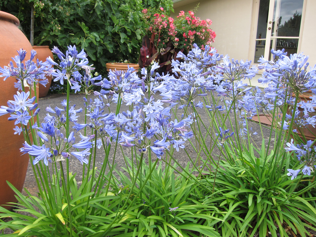 How to beat extreme weather tesselaar plants suggest growing blue storm agapanthus also known as lily of the nile makes a terrific patio plant in warm climates and is also considered to be fire retardant plant dhlflorist Images
