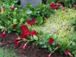 Sun Parasol Garden Crimson from Suntory is ideal for garden beds, window boxes and containers