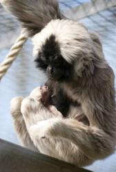 Blackpool Zoo's Pileated Gibbon mother and baby