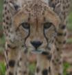 Cheetah From Cheetah Conservation Fund