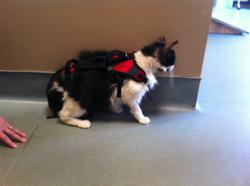 pet, dog, veterinarian, surgery, cat, kitty, therapy, harness, pet product