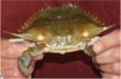 Handy International Announces Domestic Fresh Soft Crab Season Has...