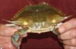 Handy International Announces Domestic Fresh Soft Crab Season Has...