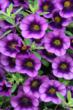 Five Purple Plants for Any Garden from Proven Winners