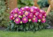 Dahlias are simple to grow and produce many flowers per bulb