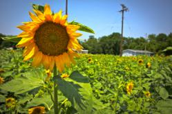 A photo of a field of sunflowers in Gilliam, La.