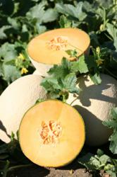 Game Changing Melon for the Western United States Market Offers Early Maturity with Unparalleled Taste
