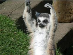 Lemurs at Blackpool Zoo celebrating half term