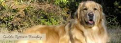 Golden Retrievers breeders