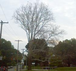 Sycamore infected with Anthracnose leafs out later than normal and leaf production is sparse.