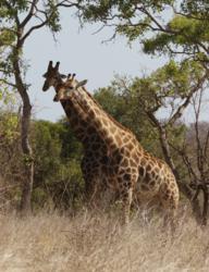 Kruger - Giraffes