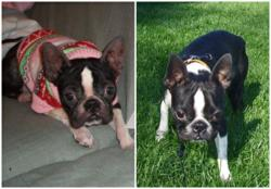A boston terrier dog with skin allergies, before treatment for allergies and after treatment for allergies.