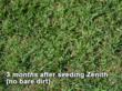 Zenith Zoysia lawn 3 months after sowing - no bare dirt
