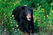 The black bear is West Virginia's state animal.